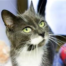 Smokey - Cat Rehoming & Adoption - Wood Green Animals Charity #adoptdontshop #charitytuesday