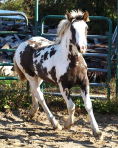 Nissanta- Sabino Haflinger cross filly