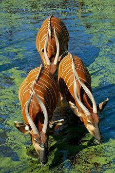 Eastern Bongos - A herbivorous, mostly nocturnal forest ungulate (hoofed animal). Among the largest of the African forest antelope species.