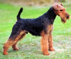 Welsh Terrier http://www.mascotadomestica.com/razas-perros/welsh-terrier.html