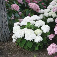 Large Clusters Of Flowers Start As A Creamy Vanilla-white, Then ... Flieder Farben Arten Fakten Pflege