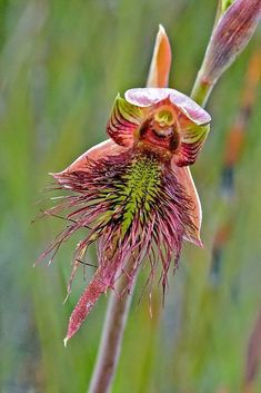 Calochilus paludosus - Strap Beard Orchid by Macro Orchids Tasmania on Flickr..