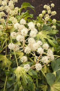Our bird friends love the white flower clusters of Fatsia japonica. When in bloom enjoy their beauty and bird song. A full bird is a happy bird. (Shown: Camouflage Variegated Japanese Aralia zones Monrovia Plants, White Flowers, Variegated Plants, Flowers, Fatsia Japonica, Bloom, Plant Catalogs, Winter Garden, Variegated