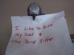 parrot shame, African grey