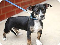 Detroit, MI - Pug/Chihuahua Mix. Meet Stitch, a puppy for adoption. http://www.adoptapet.com/pet/10731158-detroit-michigan-pug-mix