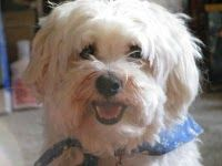 our dog Chester #Havanese