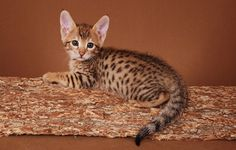 Cute Ears....A Savannah cat is a cross between an African Serval and a domesticated house cat.