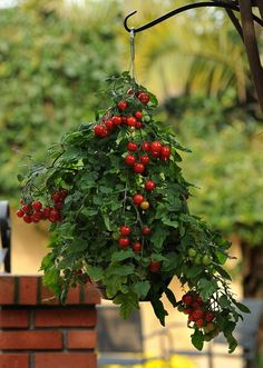 Growing Tomatoes in Hanging Basket Vertical Gardening is part of Balcony garden Vegetable - Learn growing tomatoes in hanging baskets if you are an urban gardener, this way they will not take much space Growing Cherry Tomatoes, Tips For Growing Tomatoes, Growing Tomato Plants, Growing Tomatoes In Containers, Grow Tomatoes, Plants For Hanging Baskets, Hanging Vegetable Basket, Magic Garden, Gardens