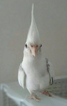 White Cockateil