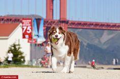 San Francisco Dog Photographer Kira Stackhouse - Australian Shepherd
