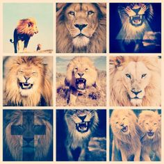 my life lions Lions, My Life, Animals, Feelings, Lion, Animales, Animaux, Animal, Animais