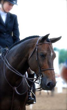 equine equestrian horse hunter jumper dressage