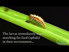 Want organic pest control for you garden? Orcon offers ladybugs and lacewings. But which is better? Now you don't need to choose. Introducing the Power Pack,...