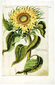 «Camerarius-Florilegium» Complete facsimile edition of the Camerarius-Florilegium 194 pages with 473 coloured plant illustrations circa 1589.