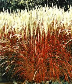 BALDUR-Garten Carex \'Bronze Reflection\' Segge, 3 Pflanzen | Rönig ...