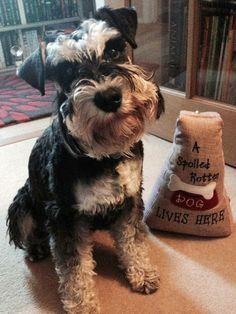 Rufus the Miniature Schnauzer