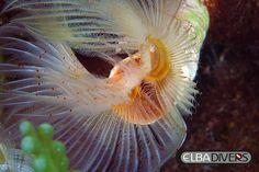 Serpula, immersioni, fotografia subacquea, diving Isola d'Elba