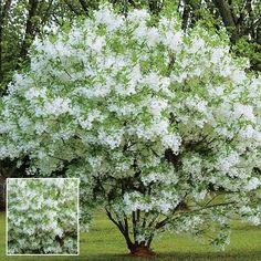 Chinese Fringe Tree, aka Grancy Graybeard or Grandpa's Beard - Fragrant, fringe-like blooms cover this unique specimen