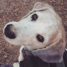 Questa meraviglia è Umberto. 11 anni portati benissimo  . . #BauSocial #Milano #cane #cani #dog #dogs #italia #doglover #ilovemydog #doglovers #dogstagram #dogoftheday #dogofinstagram #instadog #Bau #puppy #beagle #beautiful #vsco #tagsforlikes #followme #tbt