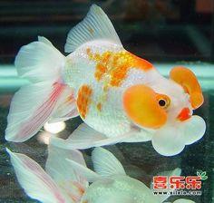 Blue bubble eye goldfish - photo#36