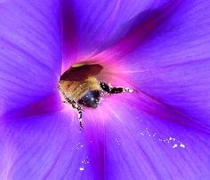 photo of a bee hard at work outside my house. love the colors and patters of flower and bee in the early morning light.