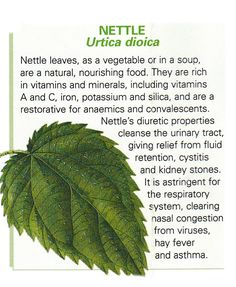 Nettle leaf uses