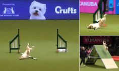 Jack Russell Olly, from Hertfordshire, took part in the agility competition of Crufts with his handler Karen. Commentators described him as totally crazy.