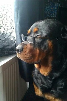 Beautiful #Rottweiler