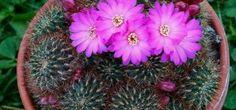 Cactus Sulcorebutia - Sulcorebutia mentosa, descripción y fotos