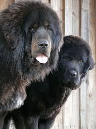 Is that a Newfoundland or a Tibetan Mastiff?