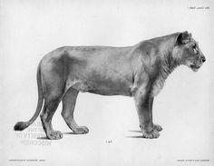 LION ANATOMY - Google Search
