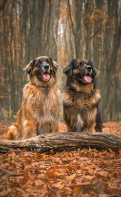 Simplicity is Happiness leonberger Simplicity is Happiness Leonburger Dog, Pet Dogs, Dogs And Puppies, Pets, Doggies, Large Dog Breeds, Large Dogs, Dog Photos, Dog Pictures