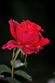 To a Dying Rose