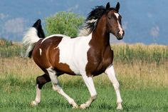 Pretty Paint (or Pinto) Horses