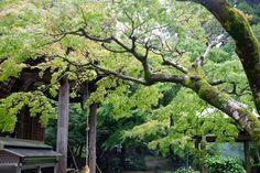 Shiromine-ji Trees