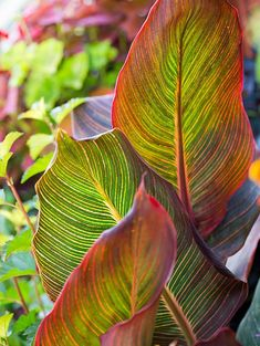 No-Fail Perennials for the South - Canna is a tropical low-maintenance garden classic. Its triumphant foliage and large, multipetaled - Tropical Landscaping, Tropical Garden, Front Yard Landscaping, Tropical Plants, Plants With Colorful Leaves, Full Sun Plants, Colorful Flowers, Low Maintenance Landscaping, Low Maintenance Garden
