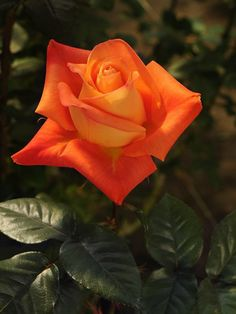 Captivating Why Rose Gardening Is So Addictive Ideas. Stupefying Why Rose Gardening Is So Addictive Ideas. Beautiful Rose Flowers, Love Rose, Flowers Nature, Amazing Flowers, Orange Flowers, Red Roses, Black Roses, Ronsard Rose, Rose Pictures