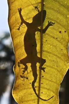 Lizard and ants silhouetted on a large leaf.