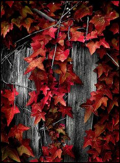 Beautiful red leaves along the fence. Autumn Day, Autumn Trees, Autumn Leaves, Purple Home, Red Leaves, Seasons Of The Year, All Nature, Shades Of Red, Belle Photo