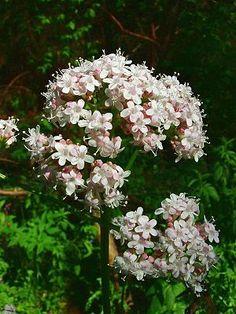 """Echter Baldrian (Valeriana  officinalis) """"Echter Baldrian (Valeriana officinalis) ist eine Pflanzenart aus der Gattung der Baldriane (Valeriana) innerhalb der Familie der Geißblattgewächse (Caprifoliaceae)."""""""