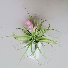 Blooming stricta  . . Yang udah pesan dikirim hari ini ya  thank youuu