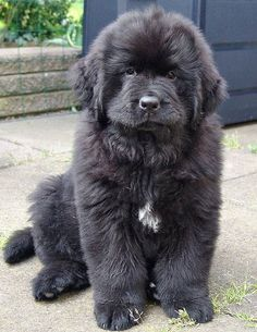 A giant dog breed is out there waiting to grab your heart, so check out these five best large dog breeds. Very Large Dog Breeds, Giant Dog Breeds, Giant Dogs, Cute Dogs Breeds, Large Dogs, Best Big Dog Breeds, Terranova Dog, Really Big Dogs, Cute Big Dogs