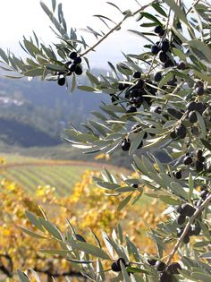 Extra Virgin Olive Oil is made from the 600 Italian varietal olive trees