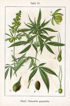 Hanf, Cannabis generalis (Fig. 37 from Deutschlands Flora in Abbildungen) 1796, Johann Sturm