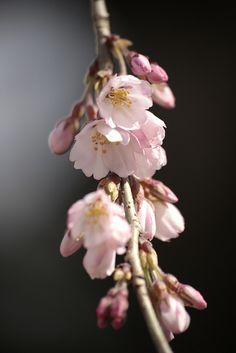 日本庭園 桜 Cherry Blossoms - 念佛宗(念仏宗無量寿寺) 兵庫県加東市108 by 念仏宗無量寿寺(念佛宗) Art Project on Flickr.