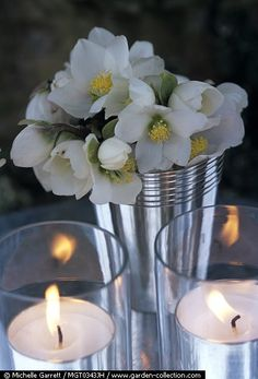 Helleborus niger and candles - The Christmas Rose Story