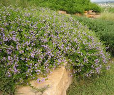 PURPLE FUSION - Scaevola - low level spreading groundcover with purple flowers, drought and frost tolerant - flowers most of the year