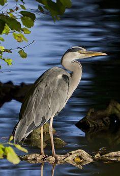 Blue Heron by ~Kriloner on deviantART Funny Bird Pictures, Bird Identification, Grey Heron, Funny Birds, Shorebirds, All Gods Creatures, Sea Birds, Bird Watching, Bird Art