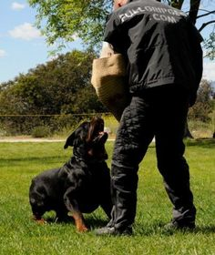A rottweiler performing the Bark and Hold (Schutzhund)