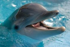 Laughing+Dolphin   Laughing dolphin.